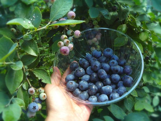 blueberry03